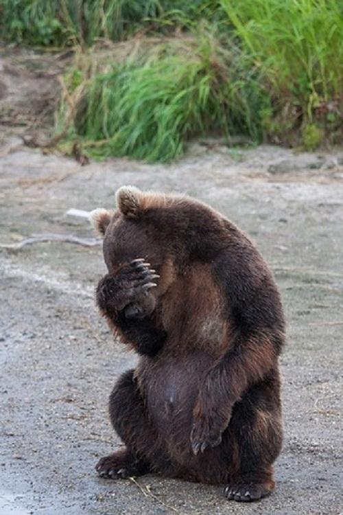 Too shy bear. Photography by 33 year-old photographer Yuri Sorokin, Kamchatka peninsula, Russia