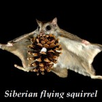 Siberian flying squirrel