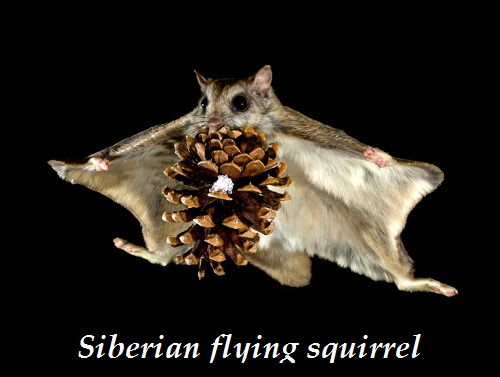 Flying squirrel (Pteromys volans)
