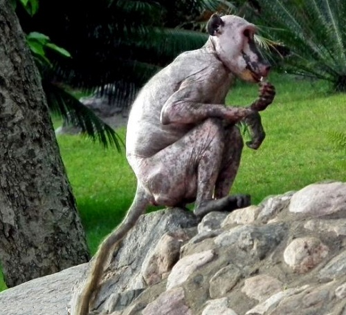 Hairless alone baboon
