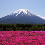 Pink carpet of beautiful flower Shiba zakura