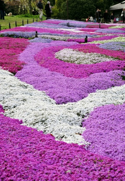 Pink carpet of beautiful flower Shiba zakura