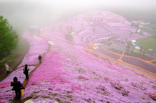 Pink carpet of beautiful flowers Shiba zakura
