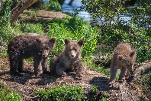 waiting for mum three bear cubs