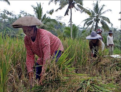 Terraced rice fields in Bali
