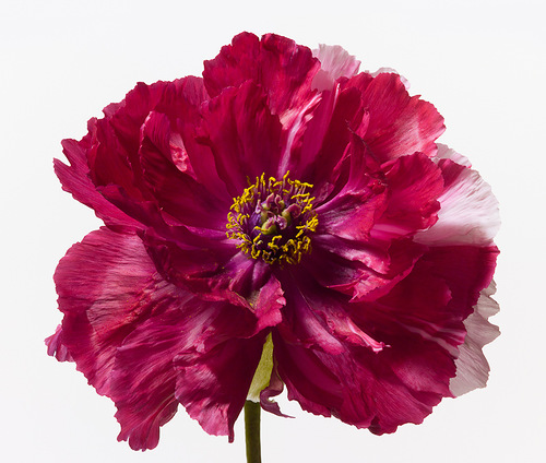 Beautiful flowers by fashion photographer Paul Lange