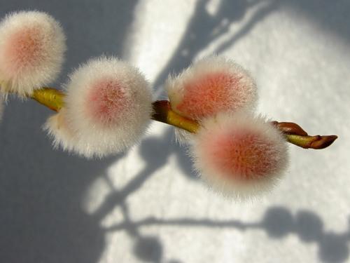 Siberian spring flowers