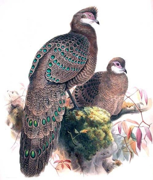 Beautiful Grey Peacock Pheasant in paintings and photography
