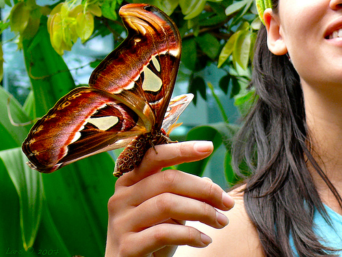 Atlas world largest moth