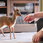 Little Aluna miniature antelope