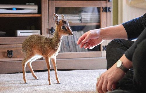Little Aluna miniature antelope, born in zoological garden in Cheshire, England