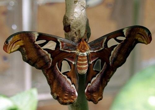 Atlas world largest moth