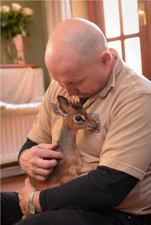 Little Aluna - miniature antelope, born in zoological garden in Cheshire, England