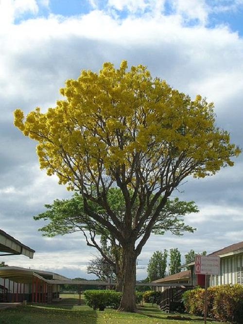 Medicinal properties of beautiful Tabebuia trees