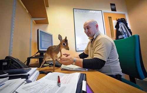 Little Aluna - miniature antelope, born in zoological garden in Cheshire, England