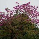 beautiful Tabebuia trees
