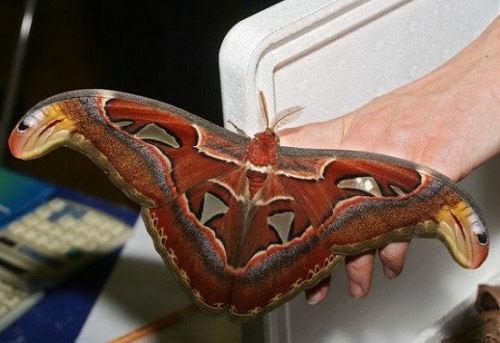 The Atlas moth (Attacus atlas), considered the largest moths in the world, found in the tropical and subtropical forests of Southeast Asia, and the Malay archipelago