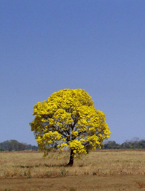 Tabebuia is the national tree of Paraguay