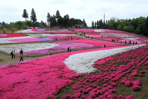 Floral Beauty of Hitsujiyama Park