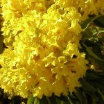 Medicinal properties of beautiful Tabebuia trees