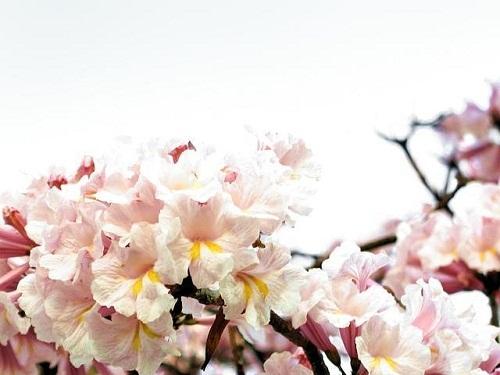 Tabebuia rosealba flowers