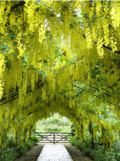 Laburnum golden chain tunnels. Beautiful tunnels of golden chain Laburnum