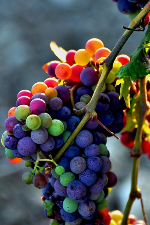 Grape inspiration. Rainbow Grapes