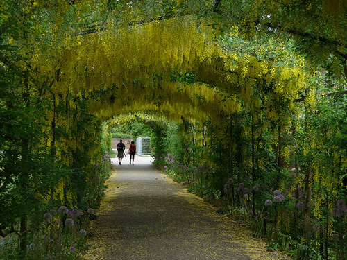 Beautiful tunnels of golden chain Laburnum