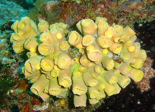 Yellow coral Tubastrea