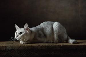 Burmilla cat. Cost: $ 800 - $ 4000