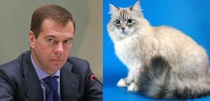Neva Masquerade, favorite cat of Medvedev, Russian Prime Minister