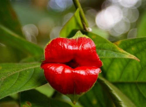 Psychotria elata plants are facing extinction due to uncontrolled deforestation, especially species of central Africa and the Pacific