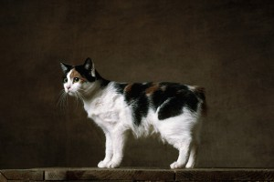 Tailless Manx. Cost: $ 750 - $ 2,700