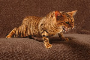 Toyger cat. Cost: $ 1000 - $ 5000