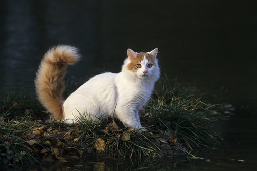 Turkish Van. Cost: $ 400-1500