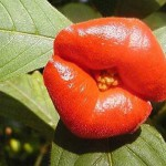 Beautiful kissing lips of Psychotria Elata