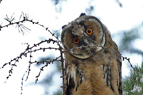 Long-eared owl by Russian amateur photographer Oleg Broskin