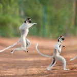 Leaping lemurs of Madagascar