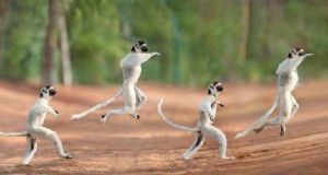 A rare sifaka lemur is captured using time lapse photography as it skips across a path in Madagascar