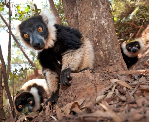 Two lemurs look suspicious as they crawl along the ground towards the camera, while a nervous companion pokes its head from behind a tree