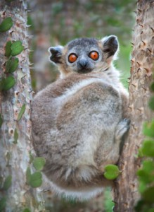 A lemur perches among the thorns in a tree