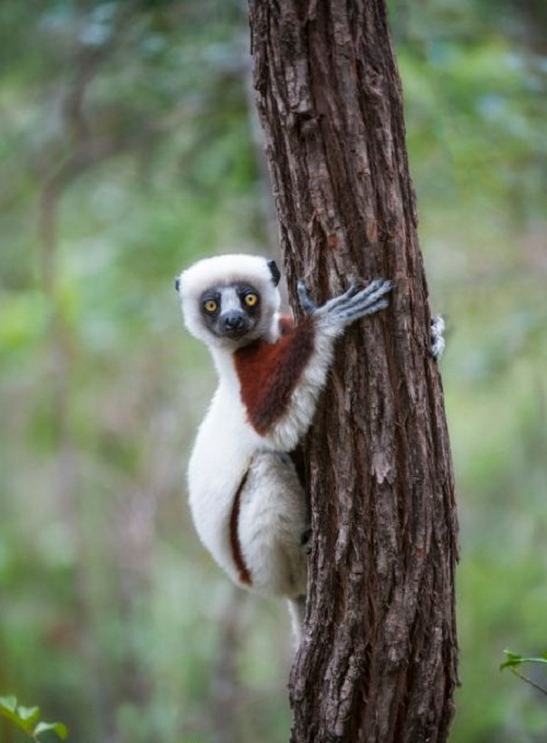 A lemur poses for the camera as it shows off its climbing skills