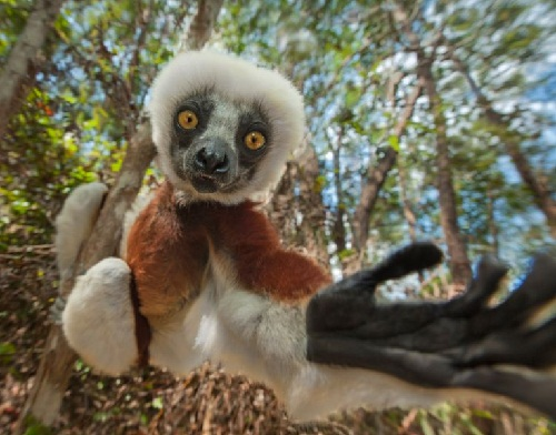 A lemur reaches out as if to grab the camera. Photographer Dale Morris said many lemurs live in nature reserves and are used to tourists