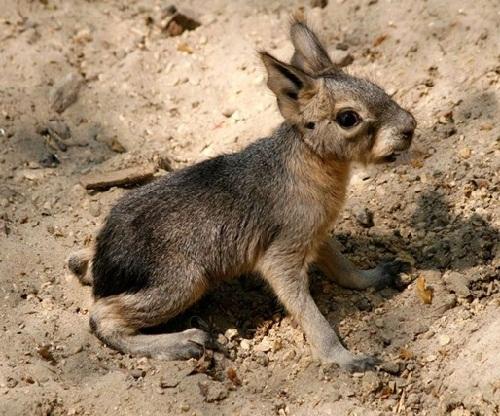 Patagonian mara babies born in Amsterdam zoo