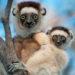 A pair of lemurs cling to a tree in Madagascar
