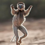 British photographer Dale Morris spent time with the charismatic primates during a visit to the African island and captured the curious creatures in action