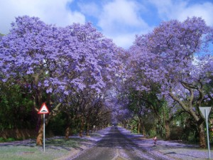 Jacaranda Alley, South Africa.