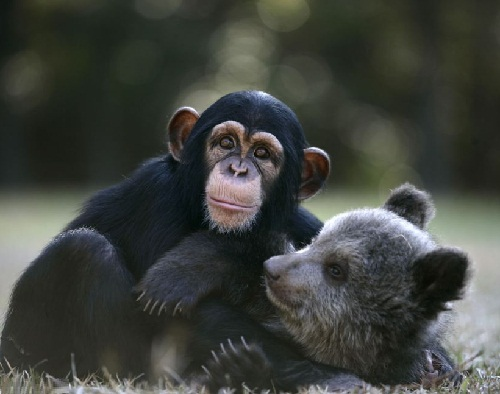 And when they grow up, Bam Bam is likely to be about nine times the size of his chimp pal.