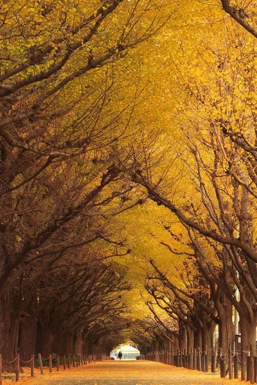 Ginkgo tree tunnel, Japan