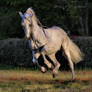 Gorrion G (Quimico III - Delicada XIV), Andalusian stallion. Elevage des Artigues. St. Vivien de Medoc, France